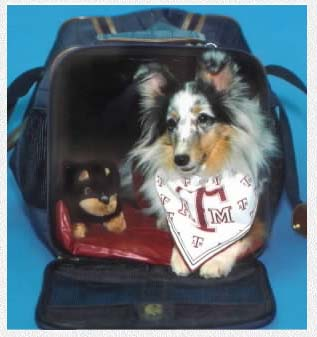 Misty Wonder Mouse - TX A&M DM Studies Poster Puppy ~The Mouse In A Bag~